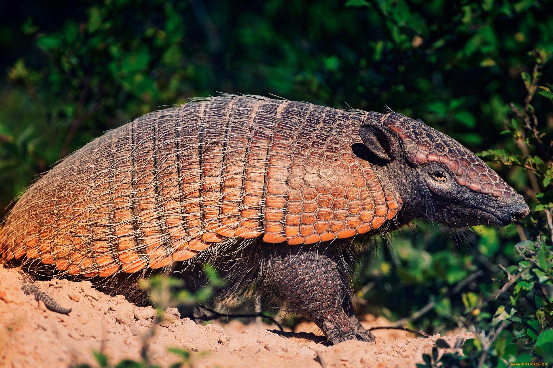 тем животные южной америки фото с названиями аскарида относится типу